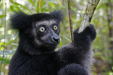 Indri adobe.jpeg