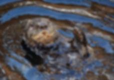 Sea otter skye pixa.jpg