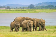 bigstock-Minneriya Sri-Lankan-Elephant--