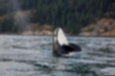 bigstock-Orca-whale-9657545.jpg