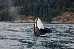 bigstock-Orca-whale-9657545