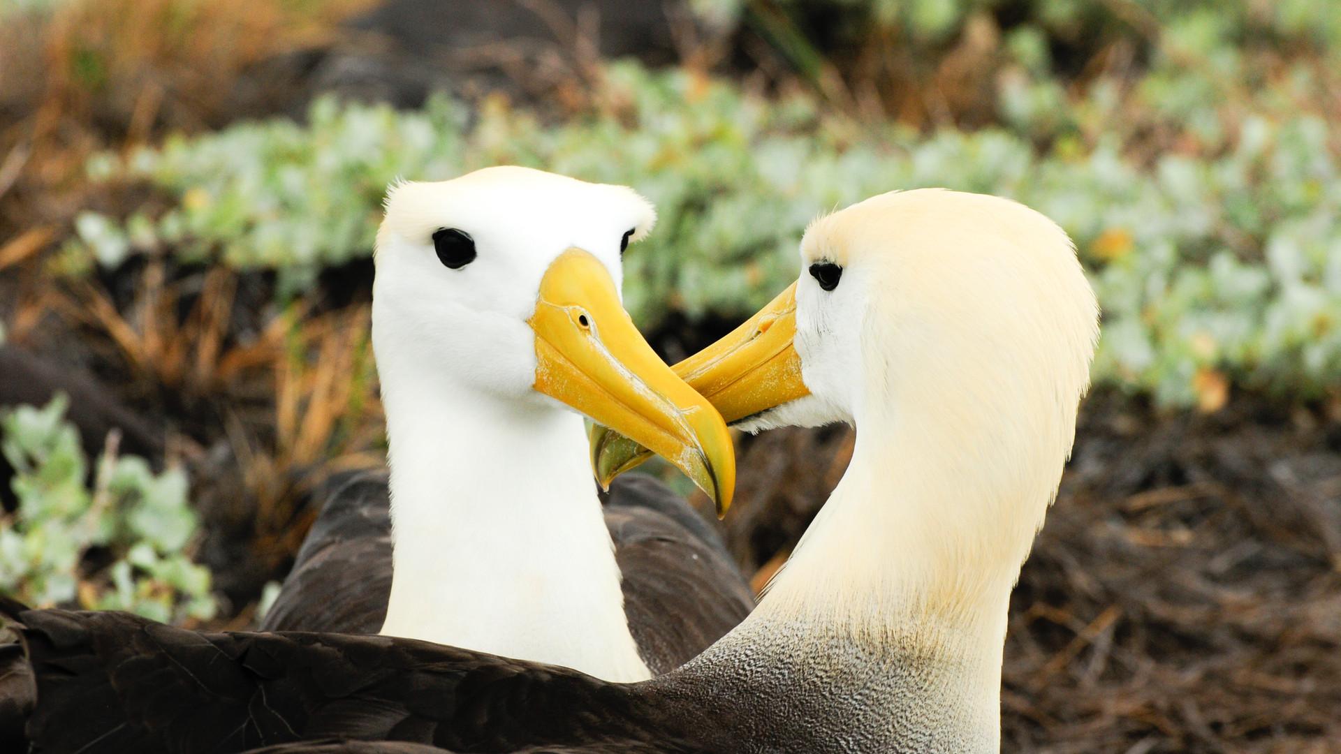 Waved Albatros - Galapagos