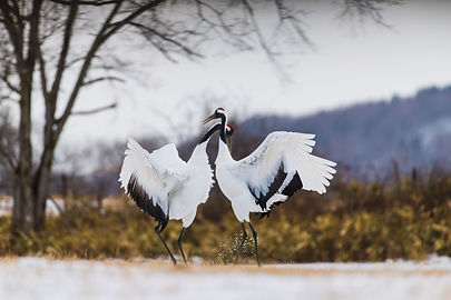 bigstock-Red-crowned-Crane-Bird-22395889