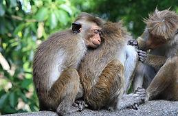 Monkey Sri Lanke pixa.jpg