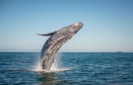 bigstock-humpback-143174384.jpg