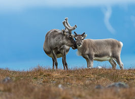 bigstock-Wild-Reindeer-svalbard--2391314