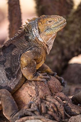 bigstock-Galapagos-Land-Iguana-Yellow--2