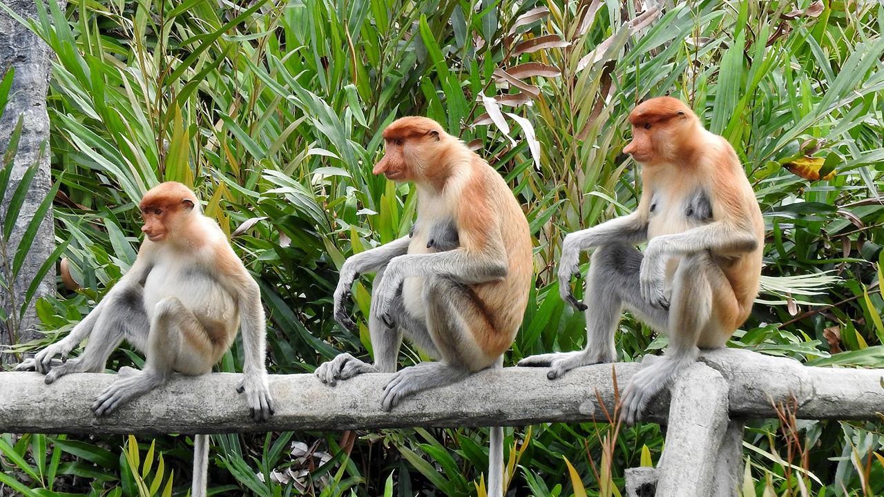 Proboscis Monkeys - Borneo