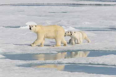 bigstock-Polar-Bear-Mother-ursus-Marit-2