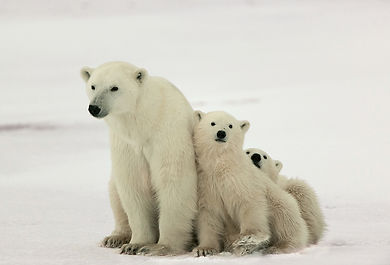 bigstock-Polar-she-bear-with-cubs--93940