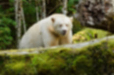 AdobeStock_KERMODE BEAR162674071.jpeg