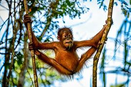 Sumatra orangutan dreamstime.jpg