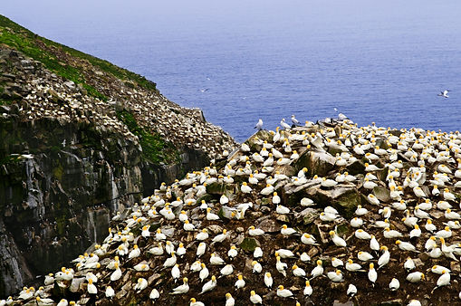bigstock-Northern-gannets-at-Cape-St-M-6