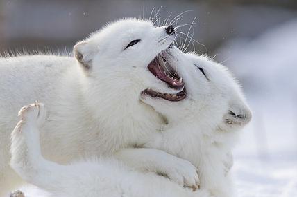 Arctic Fox.jpeg