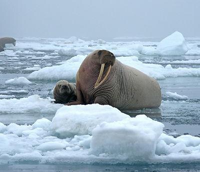 walrus pixabay.jpg