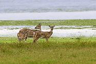 bigstock-Wild-Spotted-Deer-Yala-14160504