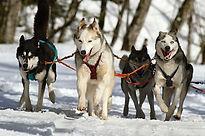 Dog sled iceland pixabay.jpg
