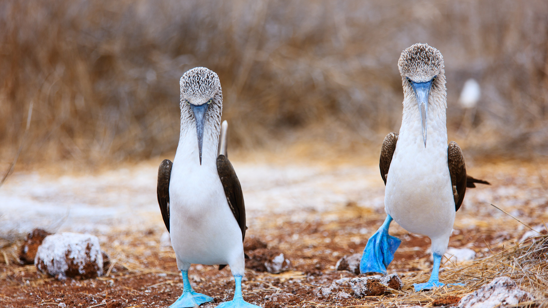 Blue Footed Boobies - Galapagos
