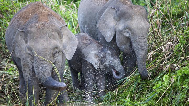 Wild Elephants - Sri Lanka