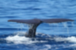bigstock-Sperm-whale-diving-110471411.jp