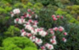 wild cherry yakushima.jpg