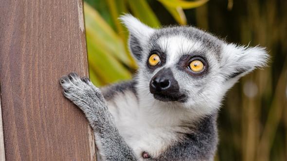 lemur-madagascar.jpg