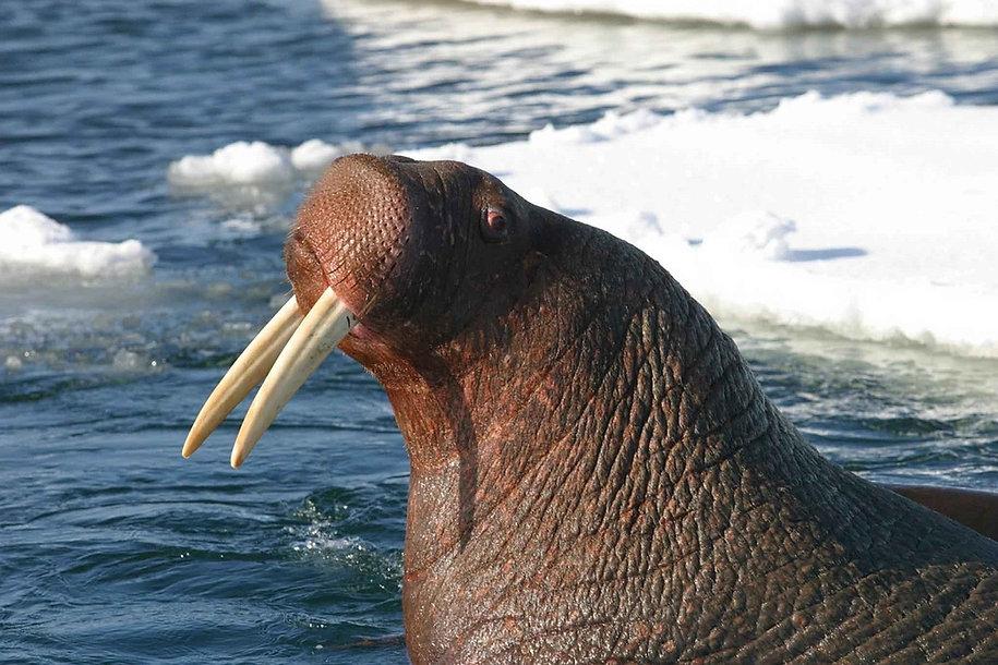 pacific-walrus-912041_1280.jpg
