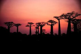 baobabs-2708289_1920.jpg