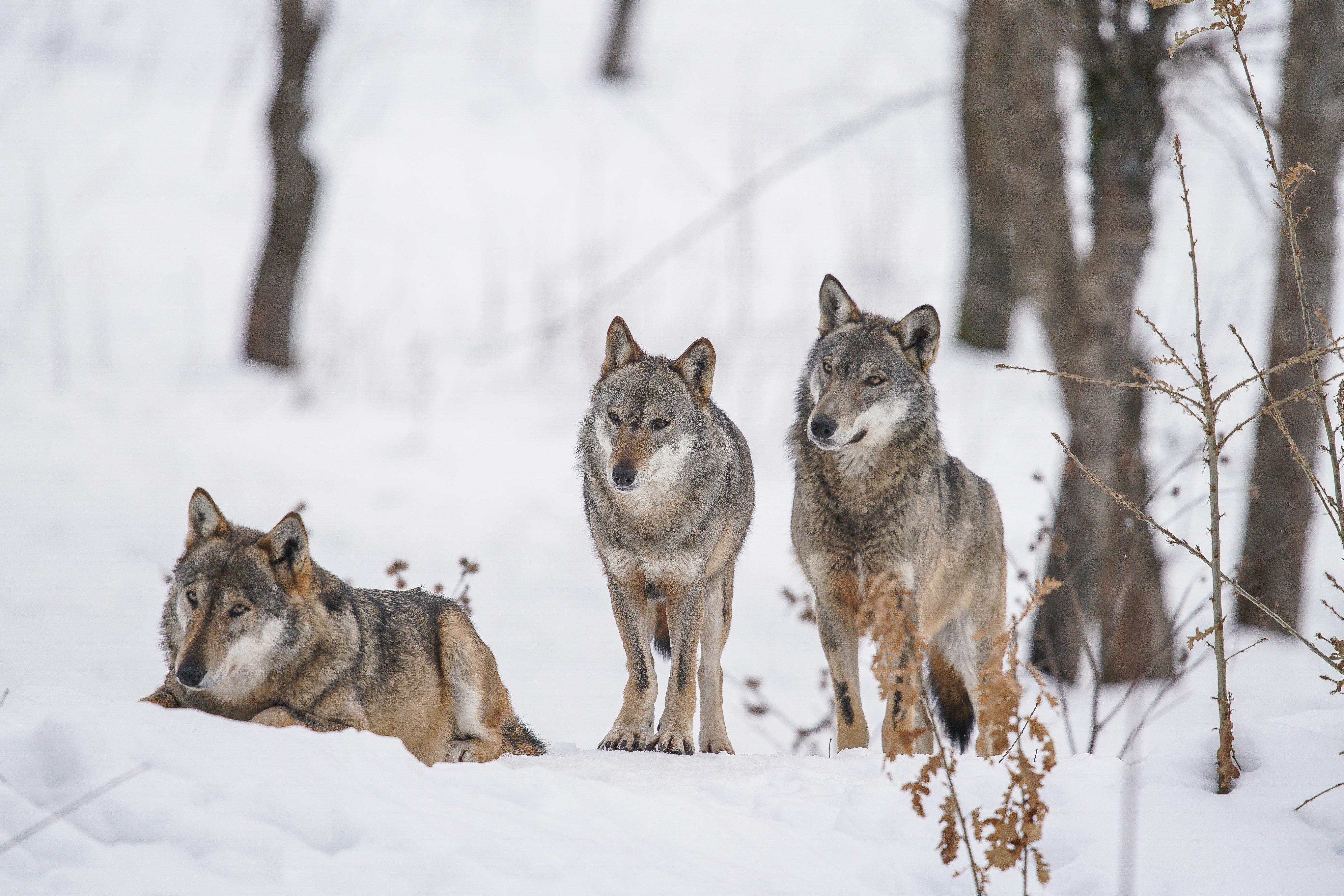 grey wolf winter 2