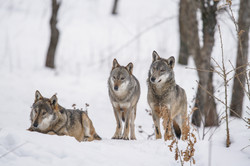 grey wolf winter 2