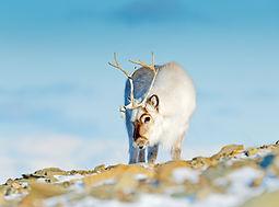 Reindeer Svalbard dreamstime.jpg