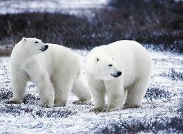polar-bears-1665367_1920.jpg