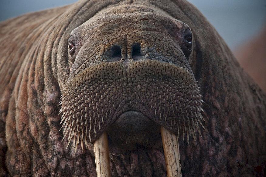 walrus-908609_1920.jpg