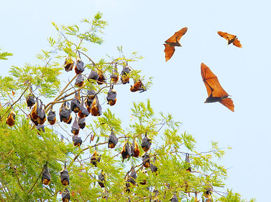 bigstock-Group-of-a-Flying-Foxes-flying-