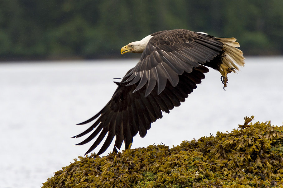 AdobeStock_bald eagle haida gwaii1212695