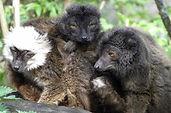 black-lemur-1293534_1920.jpg