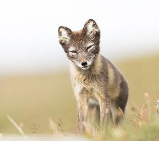 bigstock-arctic fox-203391133.jpg