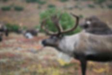 reindeer-2524821_1920.jpg