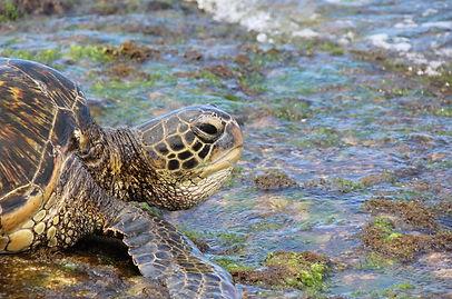 green-sea-turtle-3114944_1920.jpg