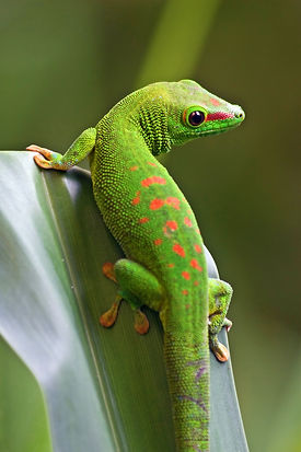 bigstock-Green-gecko-on-the-leaf-5199292