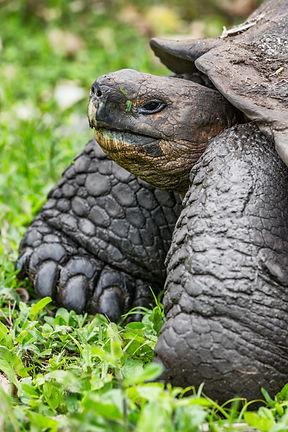 bigstock-Galapagos-Giant-Tortoise-walki-