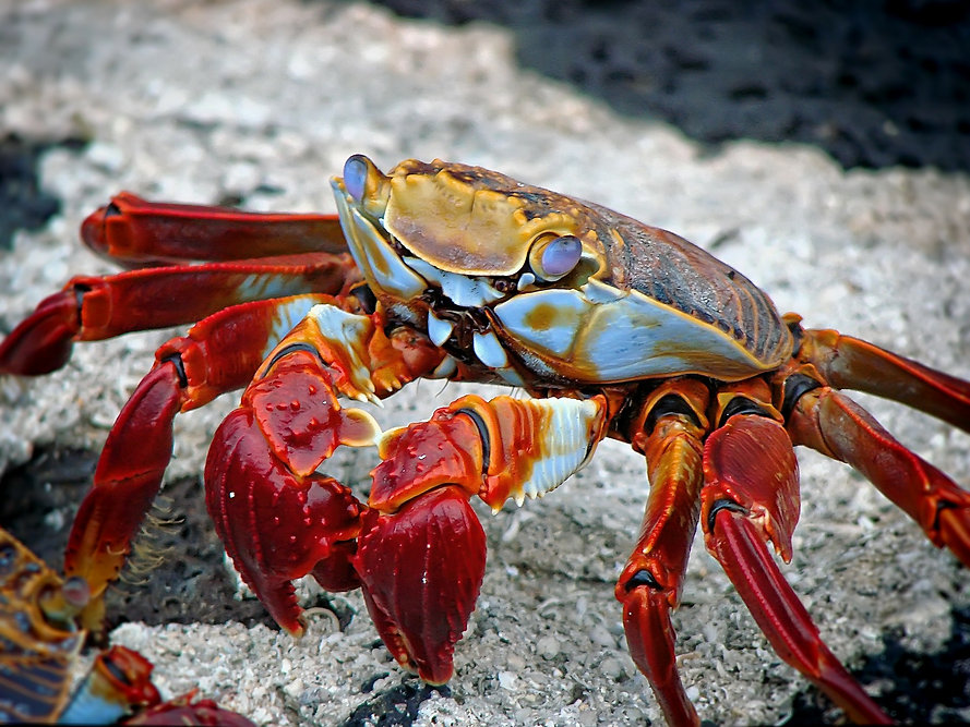 crab galapagso.jpg