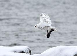 snowy owl pixa.jpg