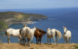 bigstock-horses-at-the-coast-of-azores--