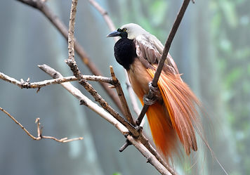bigstock-Greater-bird-of-paradise-male--