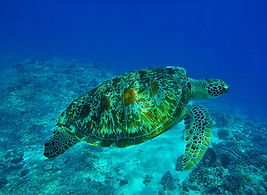 Turtle indonesia pixa.jpg
