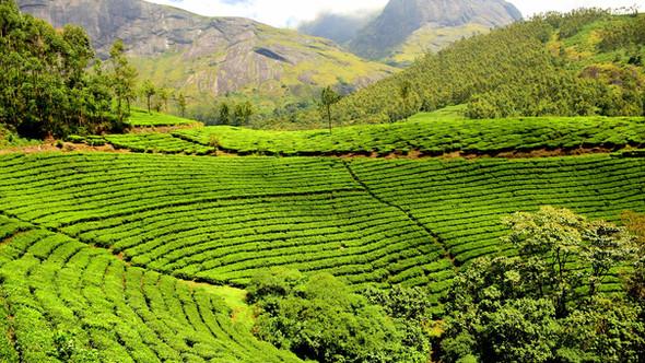 tea-plantation - Sri Lanka.jpg