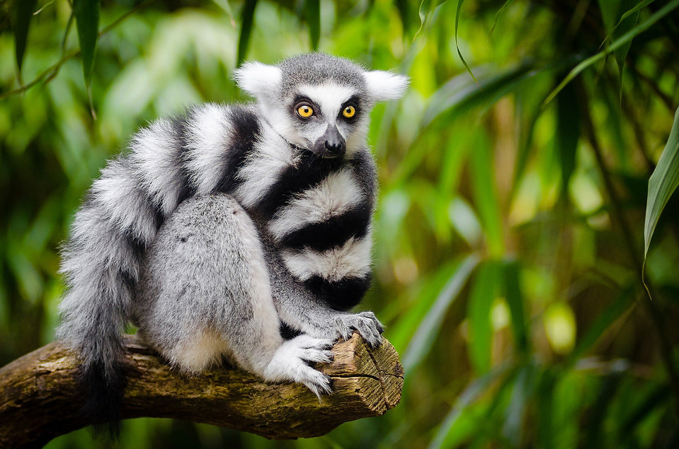 Ringtail lemur pixa.jpg