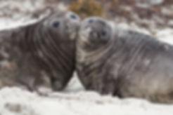bigstock-Elephant-Seal-Pups-Falklands110