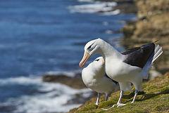 bigstock-Pair-Of-Black-browed-Albatross-